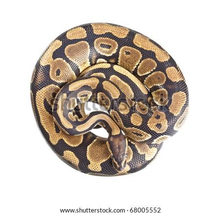 Royal Python, or Ball Python (Python regius), in studio against a white background. - stock photo