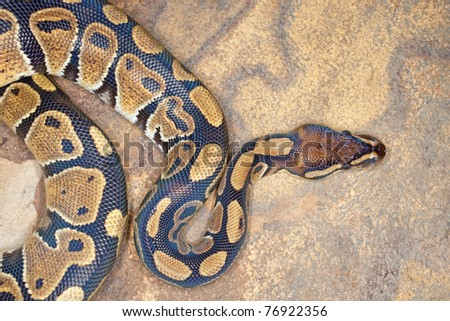 Royal python or ball python (Python regius), resting on rock surface - stock photo