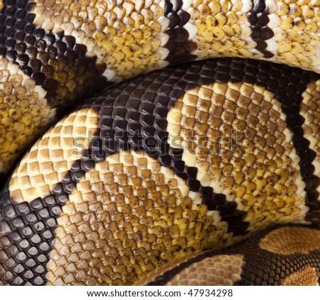 Royal Python, or Ball Python (Python regius). Scales of a snake as a background. - stock photo