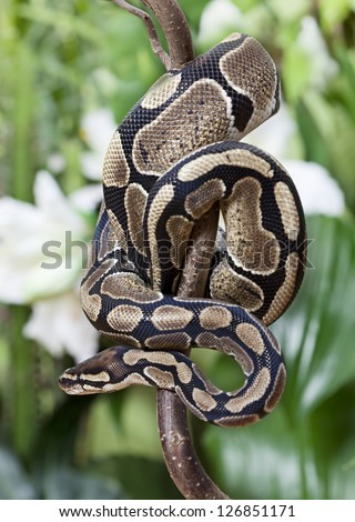 Royal Python snake creeping on a wooden branch