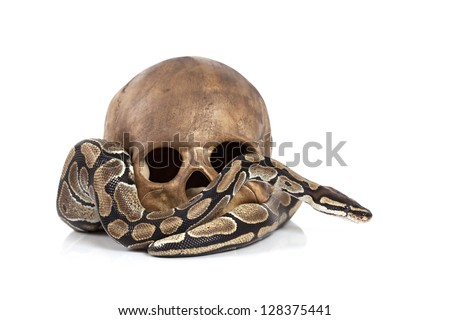 Royal Python snake with human skull on white - stock photo