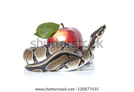 Royal Python with red apple isolated on white background - stock photo