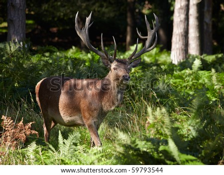 Royal stag walking in a pine forest