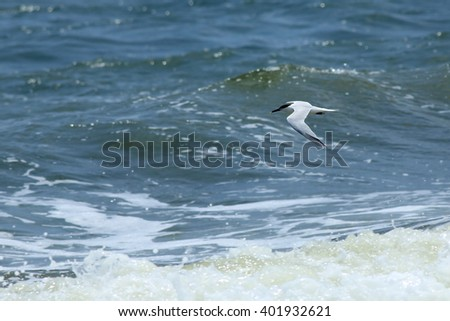 Royal tern flying over surf