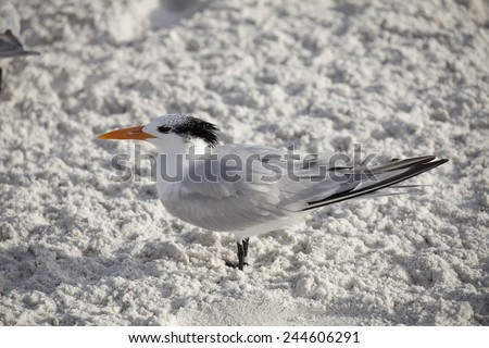 Royal Tern standing on Sand - stock photo