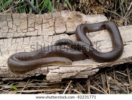 Rubber Boa (snake) - stock photo