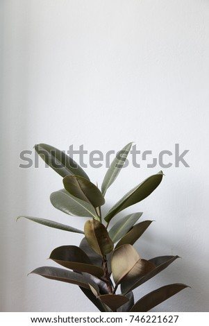 Rubber Fig Plant Isolated On White Background.