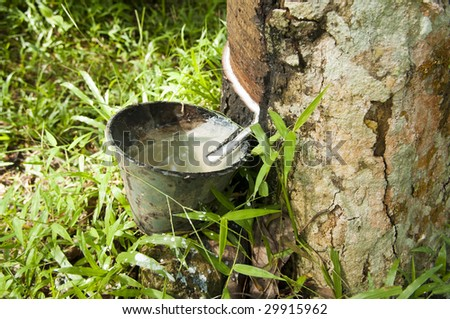 Rubber flows from the rubber tree into the cup after a raining night.