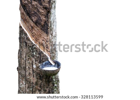 Rubber Latex  from rubber tree isolated on white background(Hevea Brasiliensis) ,with clipping path
