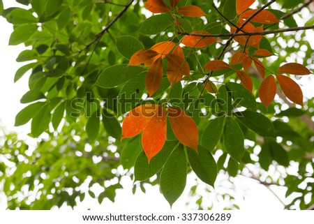 Rubber leaves change color - stock photo
