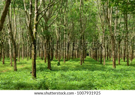 Rubber plantation Background, Rubber trees in Thailand