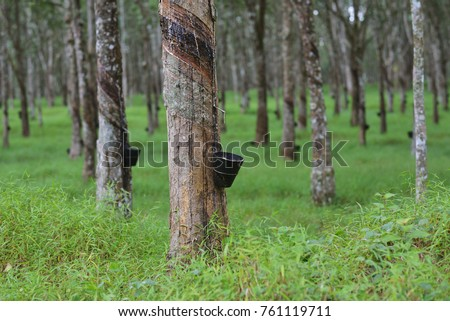 Rubber Tree Plantation Stock Images Royalty Free Images