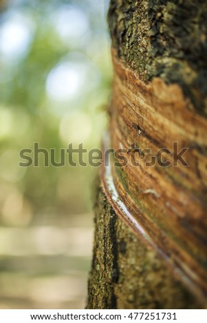 rubber tree background at Tay Ninh, Vietnam.