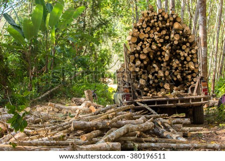 Rubber tree forestry, cutting the tree for industrial exploitation in south Thailand. - stock photo
