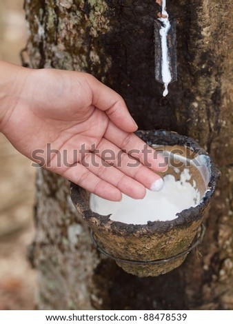 Rubber tree plantation - stock photo