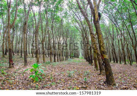 Rubber tree plantation in east of Thailand - stock photo