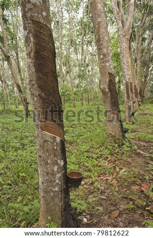 Rubber Tree Plantation In Thailand, Southeast Asia