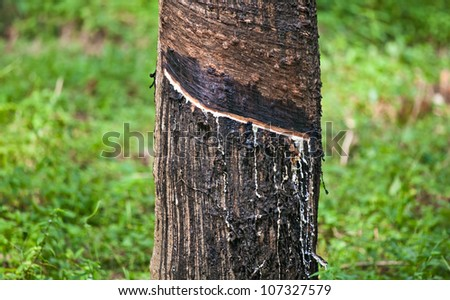 Rubber tree producing latex