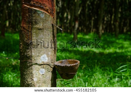 Rubber tree producing latex on plantation