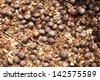 Rubber Tree Seed - stock photo