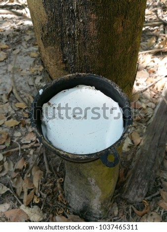 Rubber tree Thailand