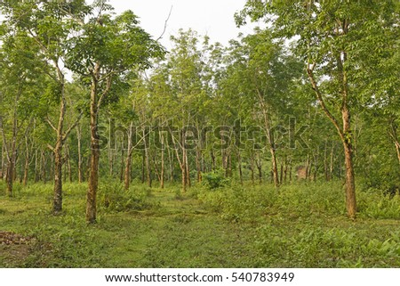 Rubber trees on a Plantation in Assam, India