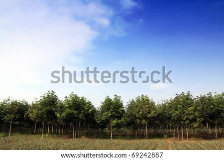 rubber trees plantation,Thailand - stock photo