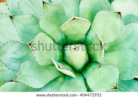 Rubust plant with dangerous stings / Agave americana / Prints of stings inside of the foliage - stock photo