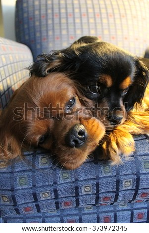 Ruby and Black and Tan Cavalier King Charles Spaniel Sleeping