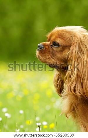 Ruby Cavalier King Charles Spaniel - stock photo