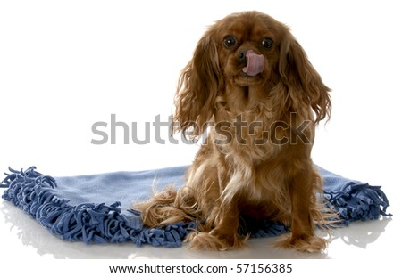 ruby cavalier king charles spaniel licking lips sitting on blue blanket with white background - stock photo