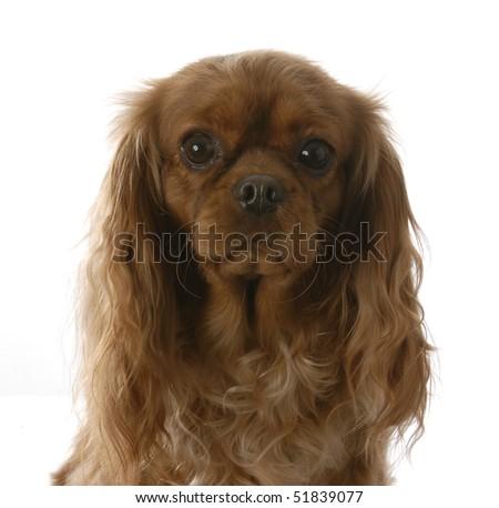ruby cavalier king charles spaniel portrait on white background - stock photo