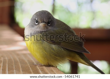 "Ruby-crowned Kinglet - Regulus calendula - asking, ""what are you looking at?"" - stock photo"