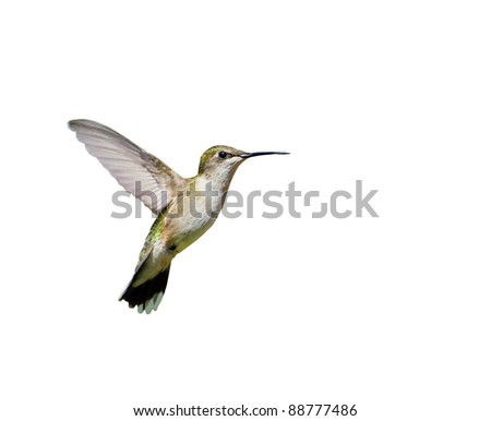 Ruby thraoted hummingbird, female,  in motion, isolated on white.