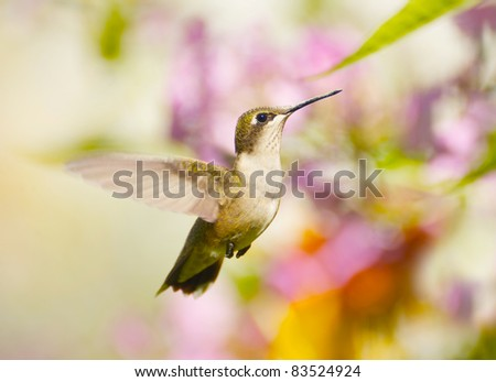 Ruby throat hummingbird, female,  in the garden in the summer.