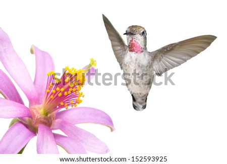 Ruby Throated Humming Bird and Flower on a White Background  - stock photo