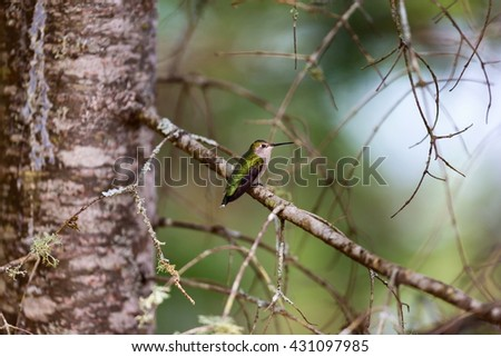 Ruby Throated Humming bird in a boreal forest in Northern Quebec after its long migration north. Very small hummingbirds with a lot of fight to do the long trip from the south. - stock photo