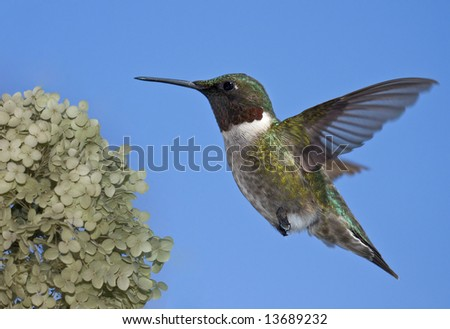 Ruby throated hummingbird - stock photo