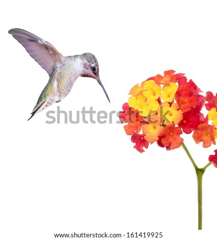 Ruby Throated Hummingbird and a Flower - stock photo