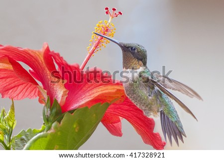 Ruby Throated Hummingbird and Red Hibiscus - stock photo