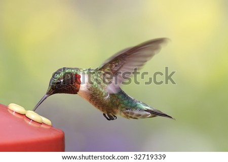 Ruby-throated Hummingbird (archilochus colubris) at a feeder with a colorful background