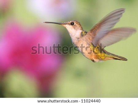 Ruby-throated Hummingbird (archilochus colubris) in flight with flowers in the background