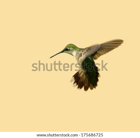 Ruby throated hummingbird (archilochus colubris) in motion.