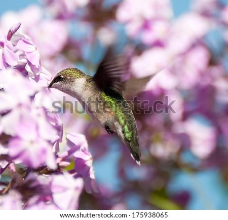 Ruby throated hummingbird (archilochus colubris) in motion. - stock photo