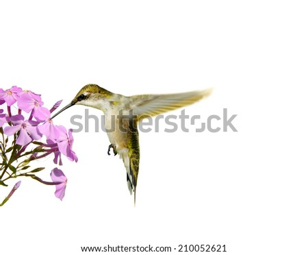 Ruby throated hummingbird (archilochus colubris) in motion, drinking from phlox flowers, isolated on white.  - stock photo