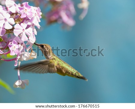Ruby throated hummingbird (archilochus colubris) in motion in the garden. - stock photo