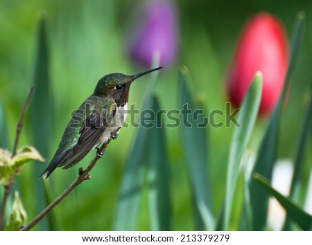 Ruby throated hummingbird (archilochus colubris) male, perched among the tulips in the Spring. - stock photo