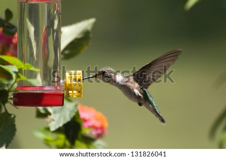 Ruby Throated Hummingbird at a Feeder - stock photo