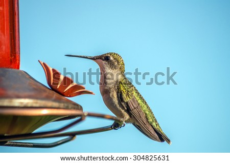 Ruby-throated Hummingbird at a feeder - stock photo