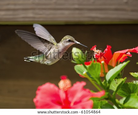 Ruby-throated Hummingbird feeding by a red Hibiscus bloom. - stock photo